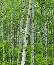 Mesteacan  (Betula pendula) 90-120 cm
