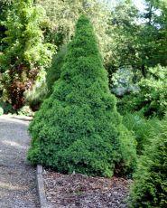 Molid conic (Picea glauca Conica) 15-20 cm