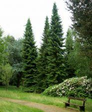 Molid sarbesc (Picea omorika) 60-90 cm