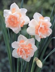Narcise Replete  (Narcissus Replete)