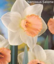 Narcise Salome  (Narcissus Salome)