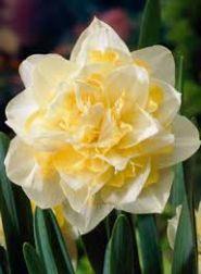 Narcise - White Lion
