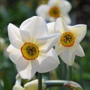 Narcise (Narcissus Pheasant)