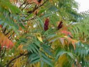 Otetar rosu ( Rhus Typhina)