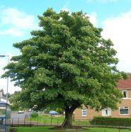 Paltin de munte (Acer pseudoplatanus)