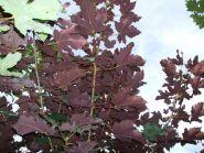 Paltin rosu (Acer pseudoplatanus Atropurpurea) 150-200 cm