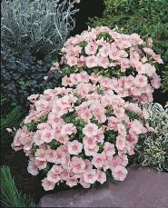 Phlox dolly (Phlox subulata Samson)