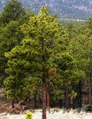 Pin Galben (Pinus ponderosa)