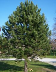 Pin negru (Pinus nigra)
