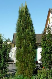 Pin negru piramidal (Pinus nigra Pyramidalis)