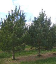 Pin silvestru (Pinus sylvestris) 40-60 cm