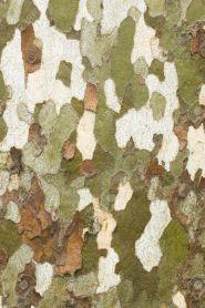 Platan (Platanus acerifolia) 40-60 cm