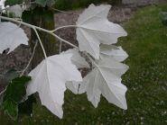 Plop alb (Populus alba)