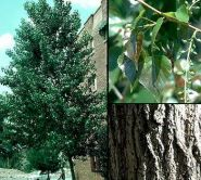 Plop american (Populus canadensis)