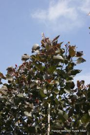 Plop rosu (Populus deltoides Purple Tower)