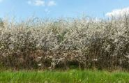 Porumbar ( Prunus spinosa)