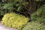 Salba galbena (Euonymus fortunei Emerald Gold)