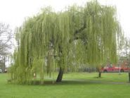 Salcie pletoasa (Salix babylonica)