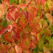 Sanger decorativ ( Cornus sanguinea Magic Flame)
