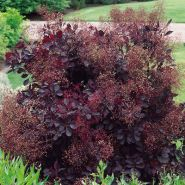 Scumpie rosie (Cotinus cogg. Royal  Purple)