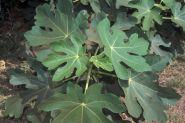 Smochin (Ficus carica)
