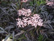 Soc cu frunze rosii (Sambucus nigra Black Tower)