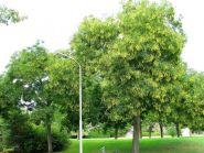 Sofora, salcam japonez (Sophora japonica) 70-100 cm