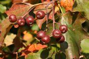 Sorb, scorus (Sorbus torminalis)