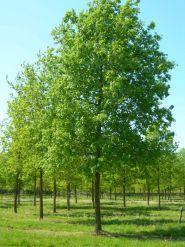 Stejar (Quercus robur)