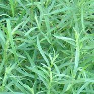 Tarhon frantuzesc  (Artemisia dracunculus French Dragon)