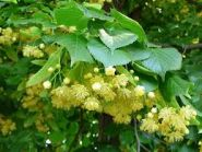 Tei cu frunza mare (Tilia plathiphyllos)