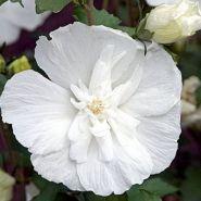 Trandafir chinezesc alb batut (Hibiscus syriacus White Chifon)