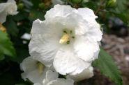 Trandafir chinezesc alba (Hibiscus syriacus William r. Smith)