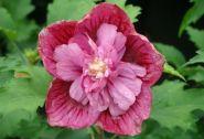 Trandafir chinezesc mov (Hibiscus syriacus Duc de Brabant)