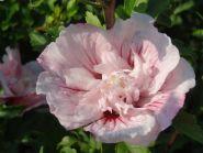 Trandafir chinezesc roz (Hibiscus syriacus Pink Chifon)