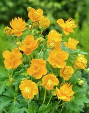 Trollius chinensis Golden Queen