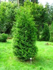 Tuia brabant (Thuja occ. Brabant) 30-40 cm
