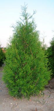 Tuia brabant (Thuja occidentalis Brabant) 130-160 cm