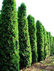 Tuia columnara (Thuja occ. Fastigiata)