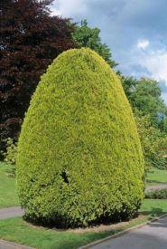 Tuia galbena (Platycladus Pyramidalis Aurea)