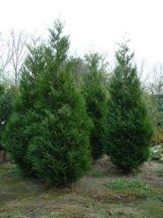 Tuia gigant (Thuja plicata Atrovirens) 40-60 cm