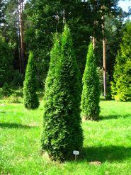 Tuia smarald (Thuja occ. Smaragd) 30-50 cm