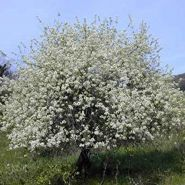 Visin turcesc ( Prunus mahaleb)