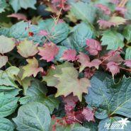 Vita de Canada (Parthenocissus tr. Purpurea)