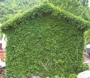 Vita de Canada (Parthenocisus quinqeifolia)