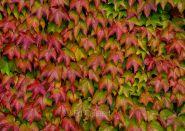 Vita japoneza (Parthenocissus tricuspidata Veitchii)