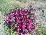 Weigela purpurie (Weigela florida Nana Purpurea)