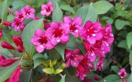 Weigela rosie (Weigela florida Bristol Ruby)