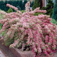 Weigela variegata (Weigela florida Nana Variegata)
