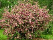 Weigela (Weigela florida) 100-150 cm
